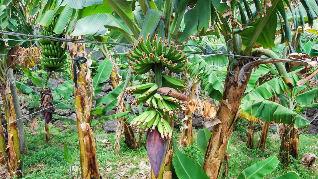 Fajã dos Padres banana field